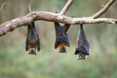 bat control administration